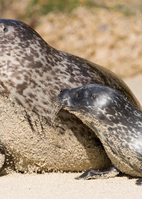 Harbor Seal & Pup Alert, La Jolla, California