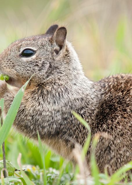 California Ground Squirrel, San Simeon, California