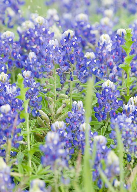 Bluebonnets, Damon, Texas
