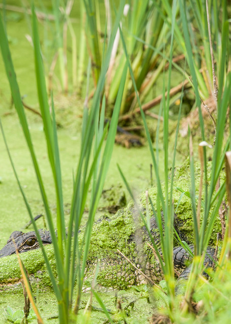 American Alligator in Hiding, Damon, Texas