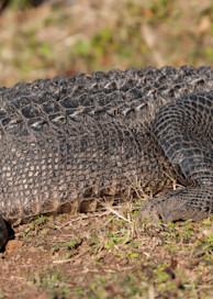 American Alligator Pano, Damon, Texas