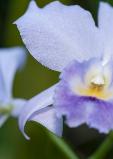 Orchids, Garden of the Sleeping Giant, Nadi, Fiji