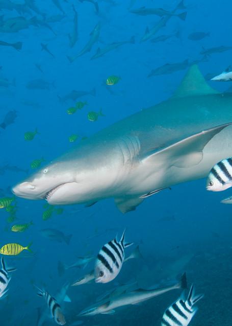 Sicklefin Lemon Shark, Beqa Lagoon, Fiji