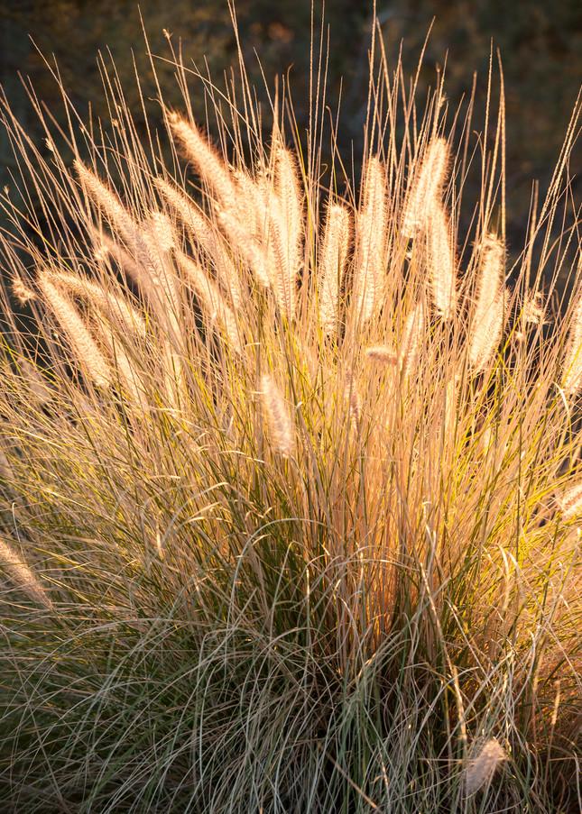 Deer Grass, Tucson, Arizona