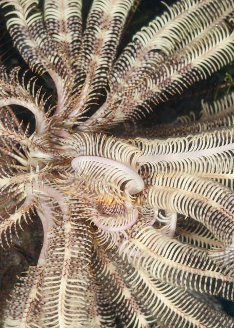 Feather Star Pattern, Raja Ampat, Indonesia