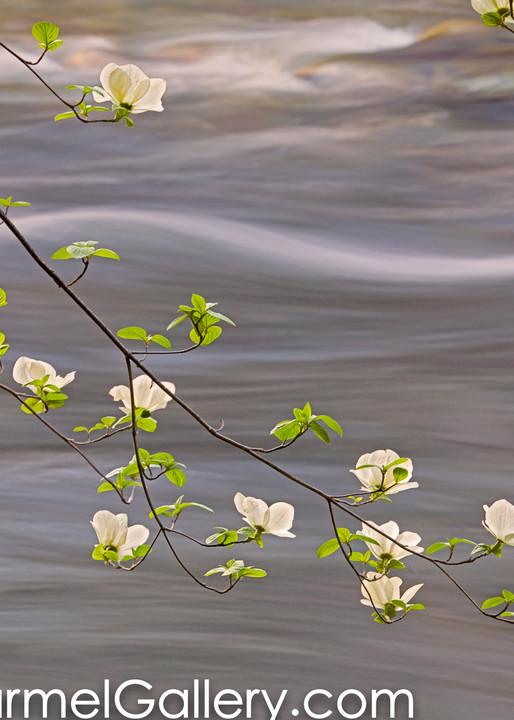 Spring Dogwood & Merced River