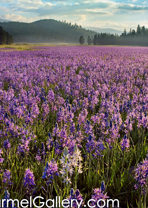 Sunrise on Camas Lillies