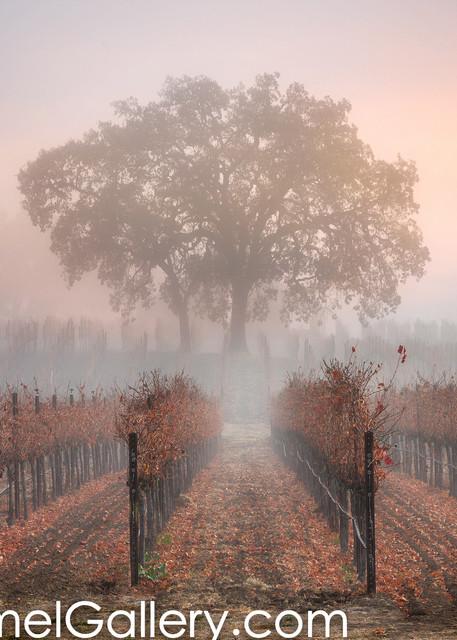 Morning Glow Loan Oak Tree
