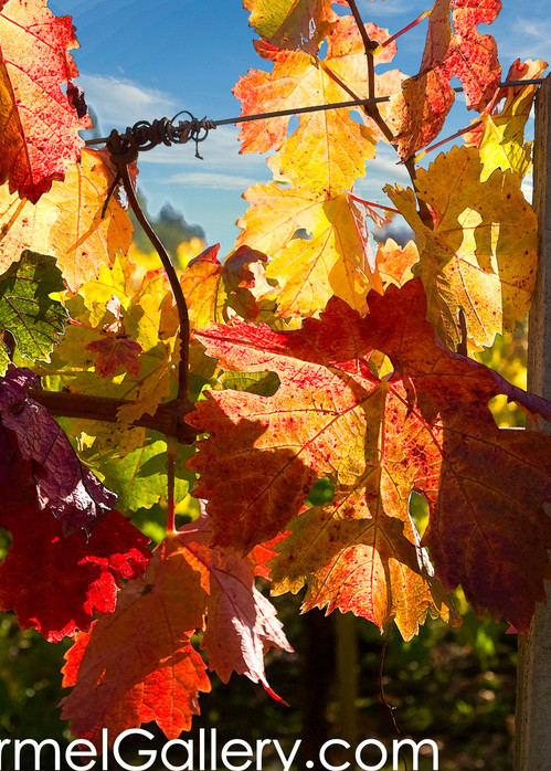 Vineyard Fall Foliage
