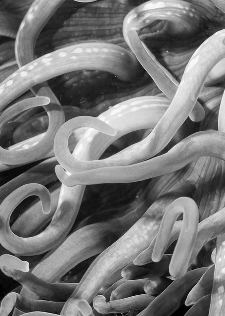 Leathery Sea Anemone BW, Anilao, Philippines