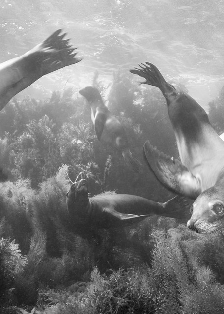 California Sea Lions BW, Coronado Islands, Mexico