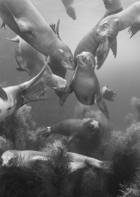 California Sea Lions Posing BW, Coronado Islands, Mexico