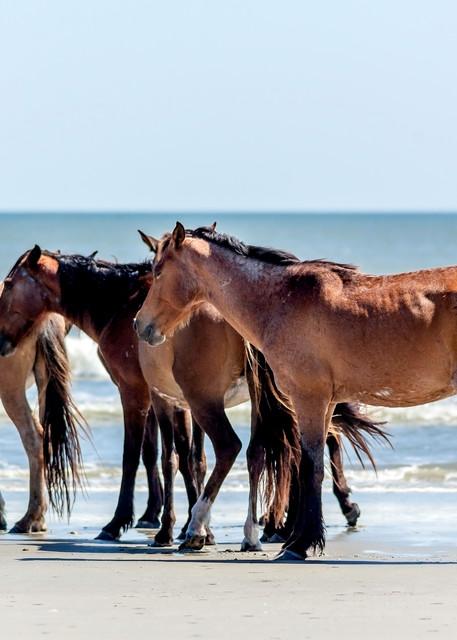 Wild Coastal Horses