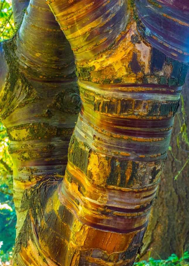 Birch Bark Cherry Art   Ray Masters Productions