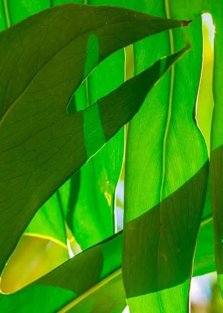 Green leaf photograph as art print