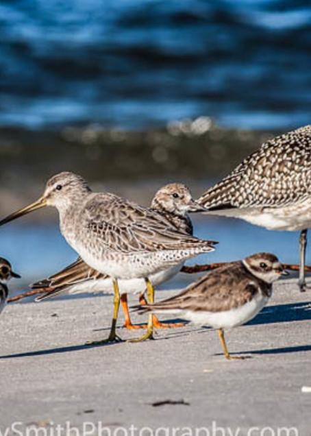 Fve Shorebirds  fine art photograph