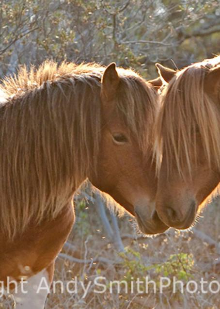Affection, wild ponies at Assateague fine art photograph