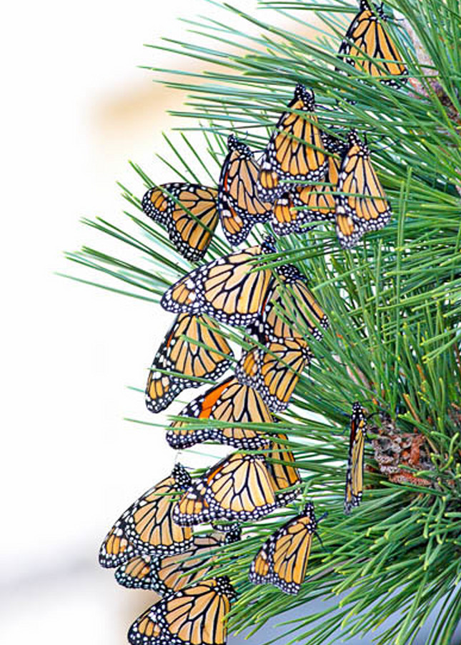 Monarchs in Migration fine art photograph