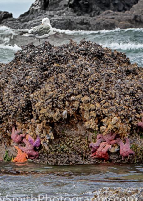 Purple Ochre Sea Stars at Low Tide  fine art photograph