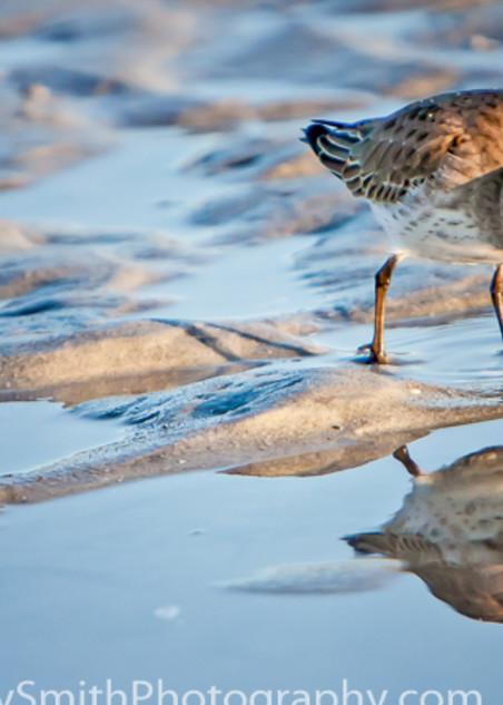Dunlin Reflection  fine art photograph