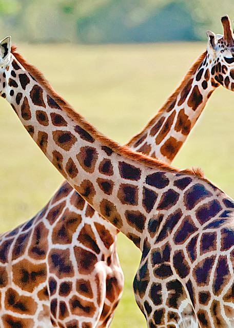 Giraffes 013 Photography Art   Cheng Yan Studio