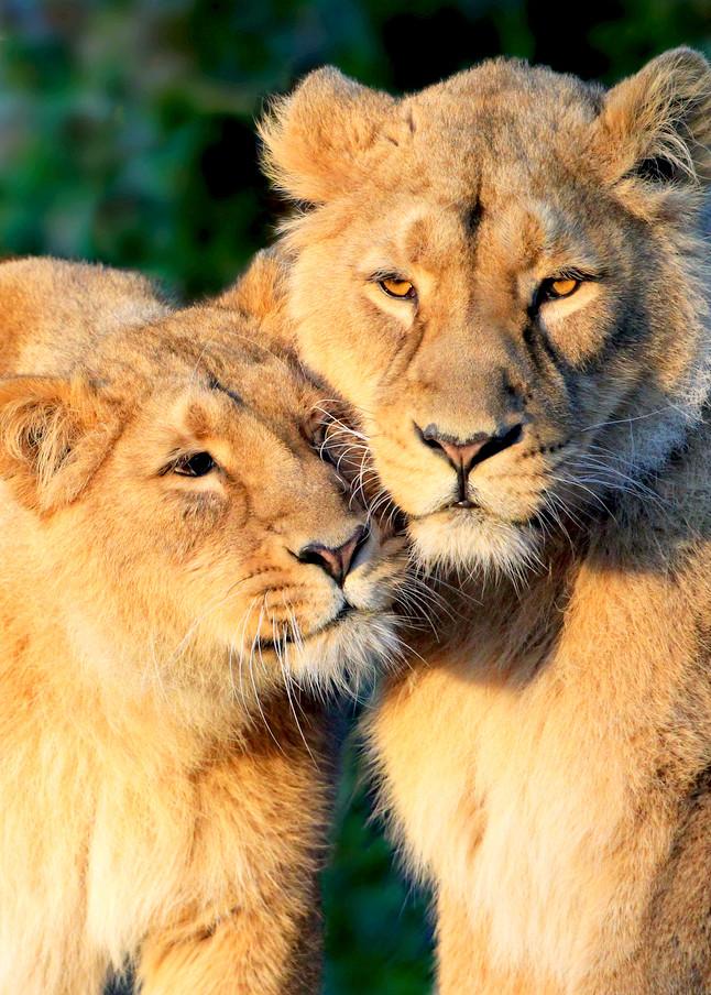 Lions 004 Photography Art | Cheng Yan Studio