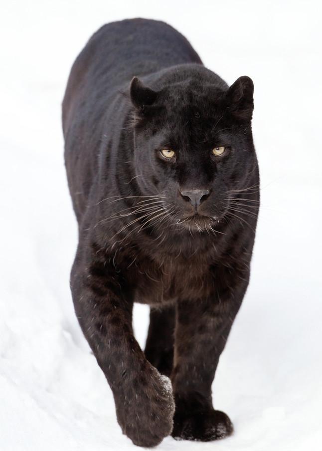 Black Panthers 005 Photography Art   Cheng Yan Studio