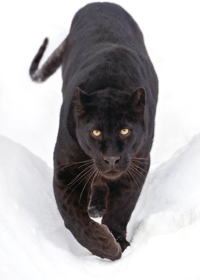 Black Panthers 003 Photography Art | Cheng Yan Studio