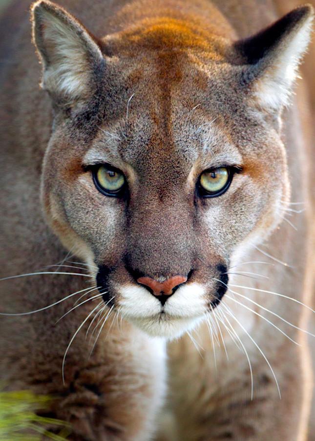 Cougars 010 Photography Art   Cheng Yan Studio