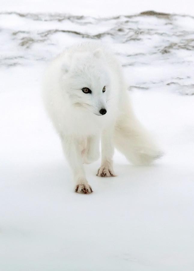 Arctic Foxes 008 Photography Art | Cheng Yan Studio