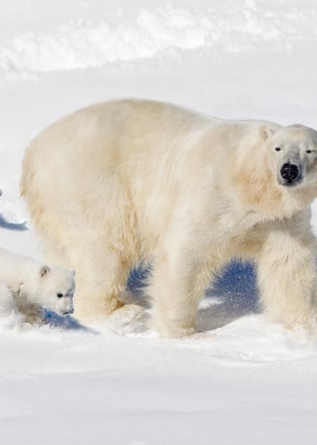 Polar Bears 013 Photography Art | Cheng Yan Studio