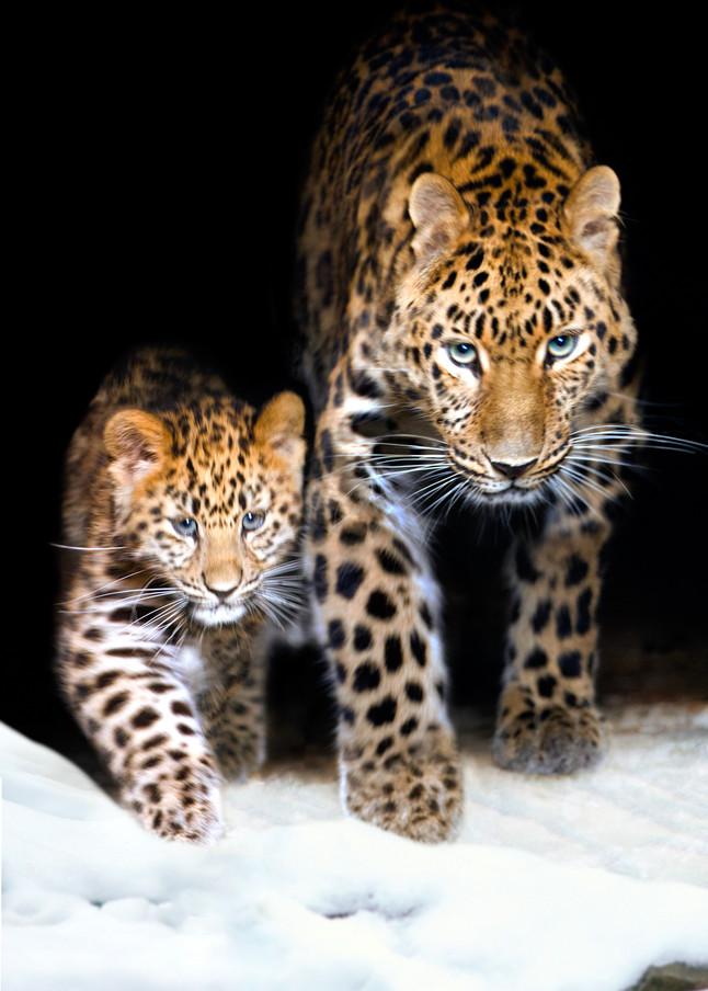 Amur Leopards 008 Photography Art | Cheng Yan Studio