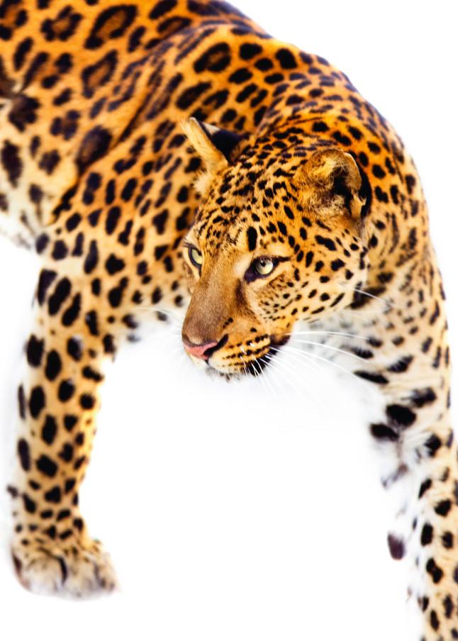 Amur Leopards 011 Photography Art | Cheng Yan Studio