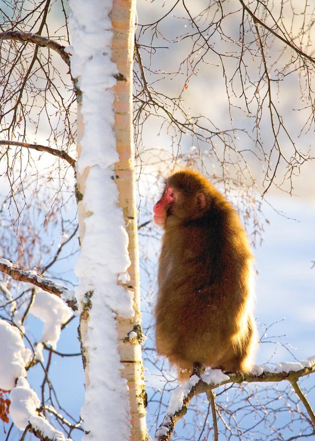 Japanese Macaques 009 Photography Art | Cheng Yan Studio