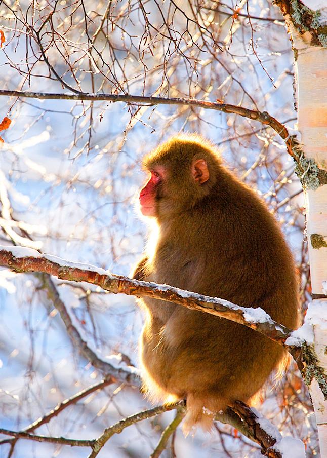 Japanese Macaques 010 Photography Art   Cheng Yan Studio
