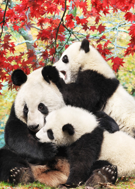 Pandas 014 Photography Art   Cheng Yan Studio