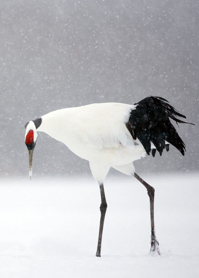 Red Crowned Cranes 003 Photography Art   Cheng Yan Studio