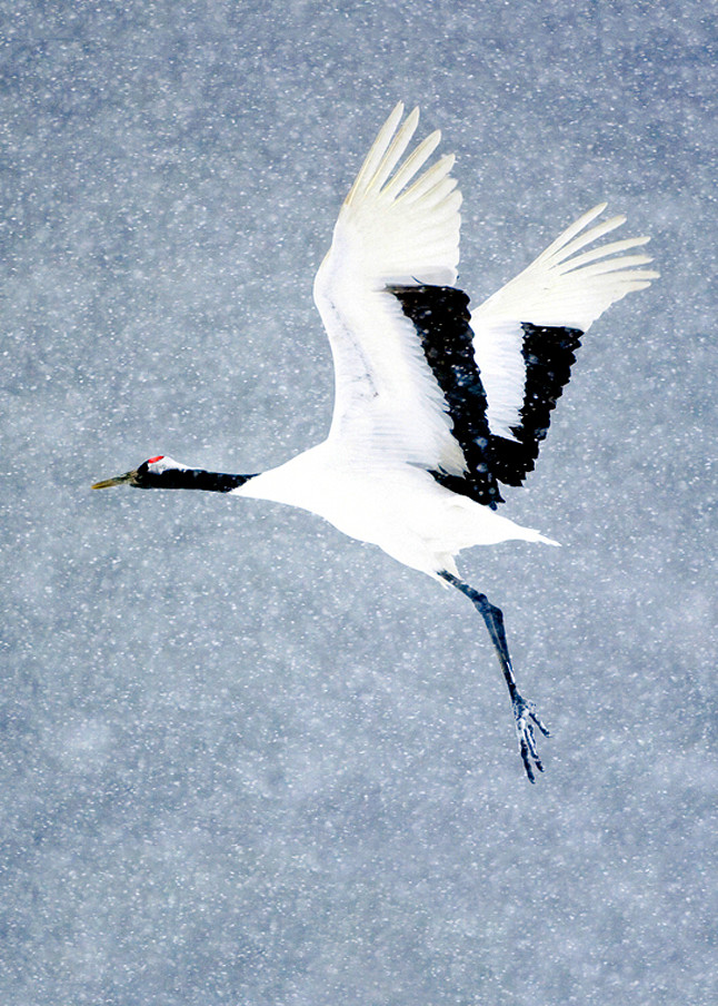 Red Crowned Cranes 008 Photography Art | Cheng Yan Studio