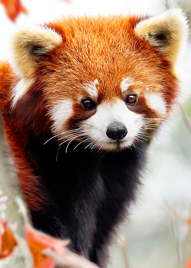 Red Pandas 004 Photography Art   Cheng Yan Studio