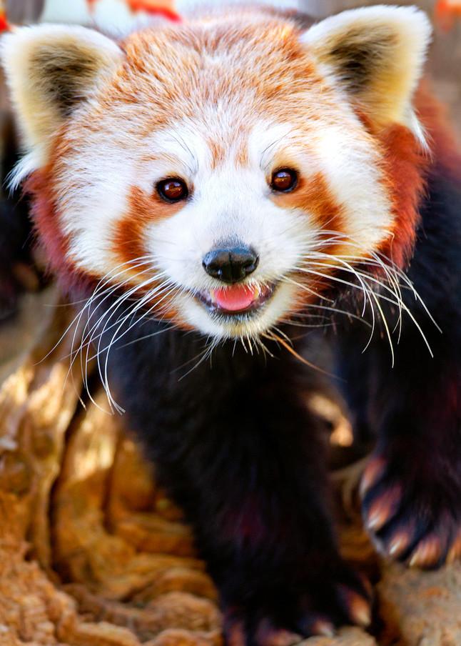 Red Pandas 008 Photography Art   Cheng Yan Studio
