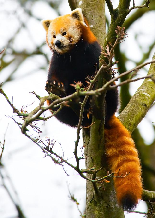 Red Pandas 016 Photography Art   Cheng Yan Studio