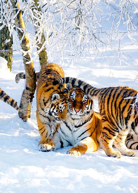 Tigers 002 Photography Art   Cheng Yan Studio
