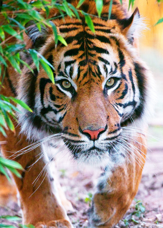 Tigers 010 Photography Art   Cheng Yan Studio