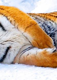 Tigers 020 Photography Art   Cheng Yan Studio