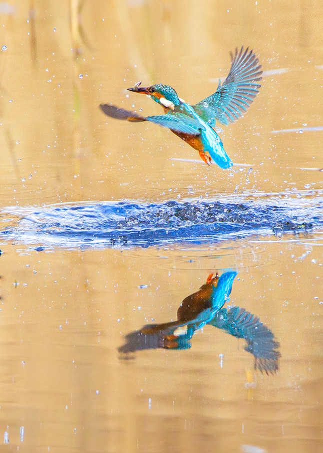 Kingfishers 017 Photography Art | Cheng Yan Studio