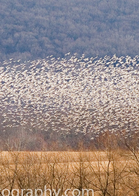 Fine ARt Photograph of Snow Geese over Cornfield at Middle Creek Wildlife Management Area