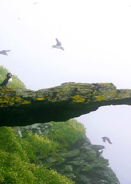 Puffins And Sea Birds 019 Photography Art | Cheng Yan Studio
