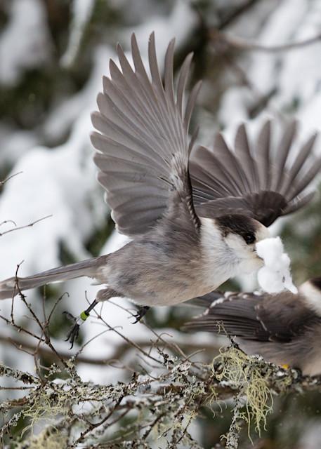 Gray Jays building a nest