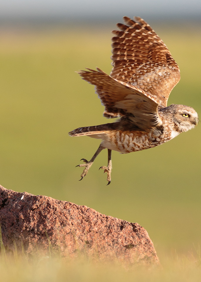 Burrowing owl takes flight