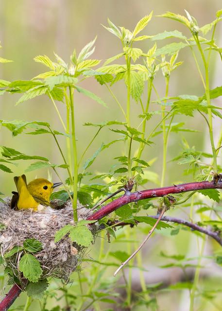 Yellow warbler #1